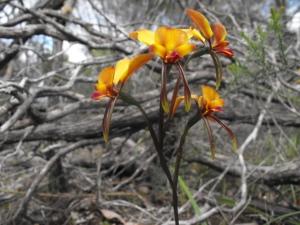 Donkey Orchids